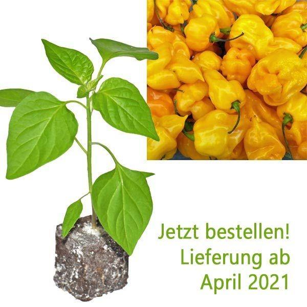 Organic Trindad Scorpion Moruga Yellow Chili Plant