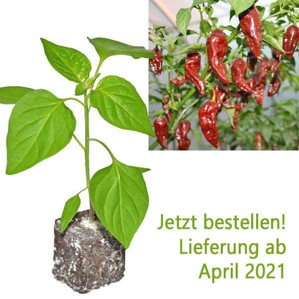 Organic Bhut Jolokia Chocolate Chili Plant