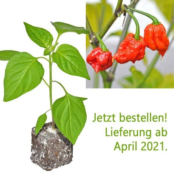 Organic Carolina Reaper Chili Plant