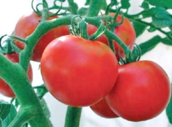 Rutgers tomato seeds