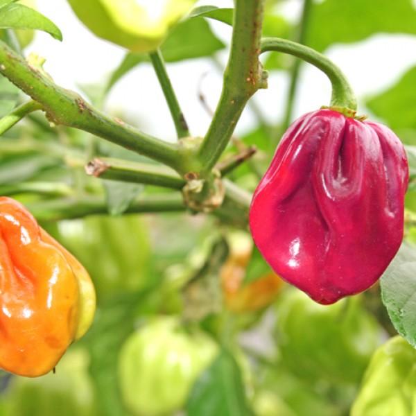 Habanero Purple Chili Seeds
