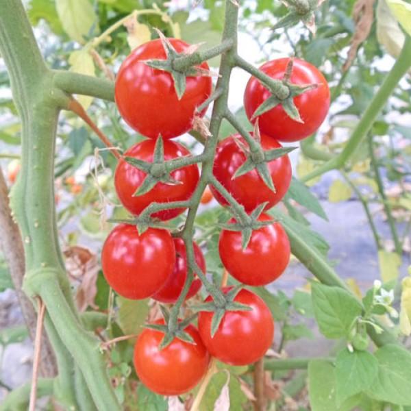 Schlossgarten Cherry Tomato Seeds