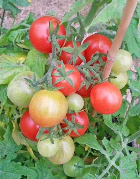 Window Box Red Tomato Seeds