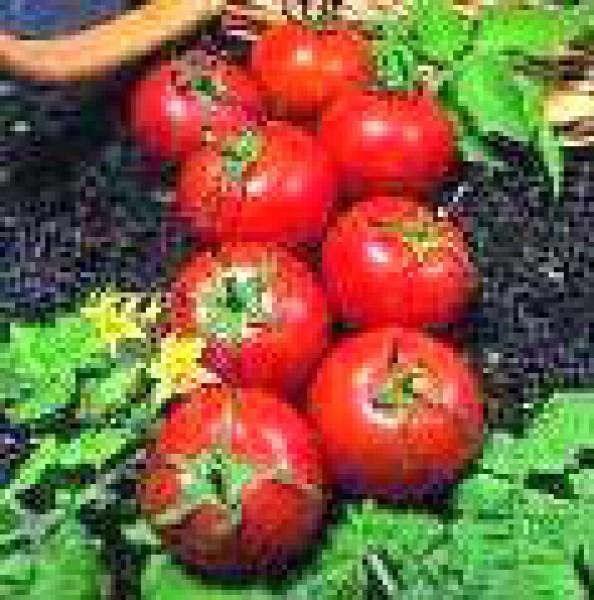 Harbinger Tomato Seeds