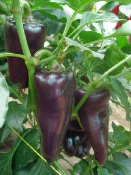 Marconi Purple Chili Seeds