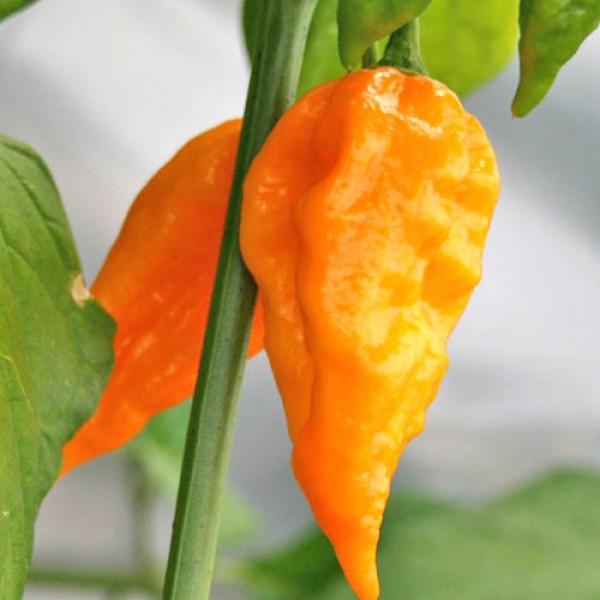 Naga Morich Yellow Chili Seeds