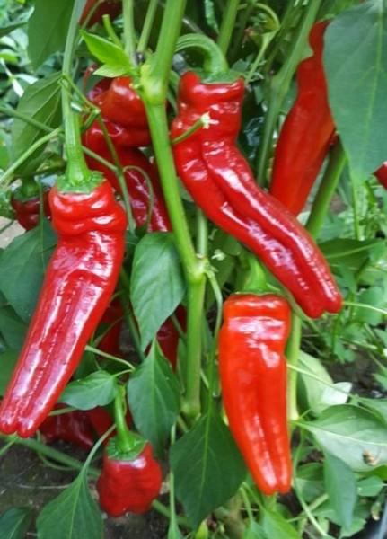 Cornaletto da Appendere Chili Seeds