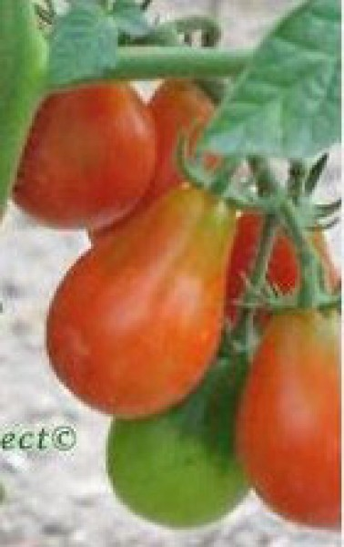 Red Pear Cherry Bell Tomato Seeds