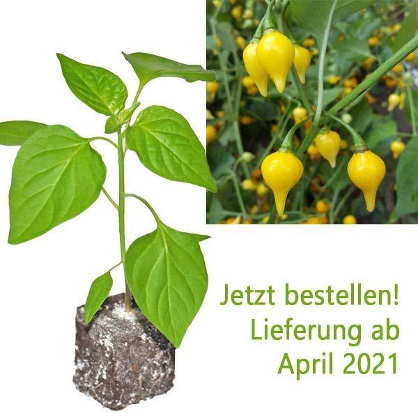 Organic Biquinho Amarelo Chili Plant