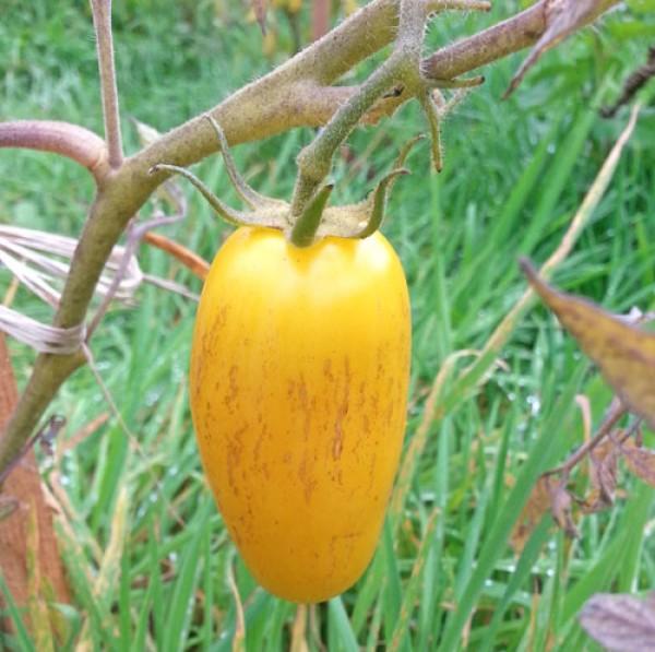 Order Banana Legs tomato seeds online