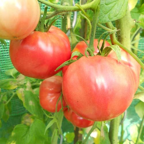 Olena Ukrainian Tomato Seeds