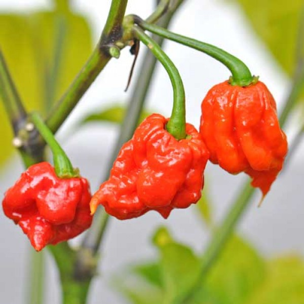 Carolina Reaper Chili Seeds - World Record Holder