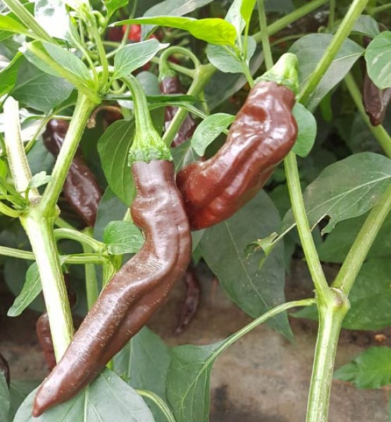 Ethiopian Brown Chili Seeds
