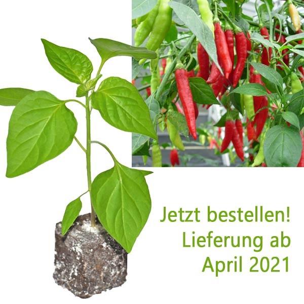 Organic Birgit`s Locoto Chili Plant