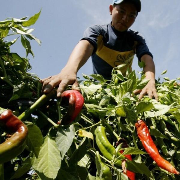 Papri Paprika Mild Chili Seeds