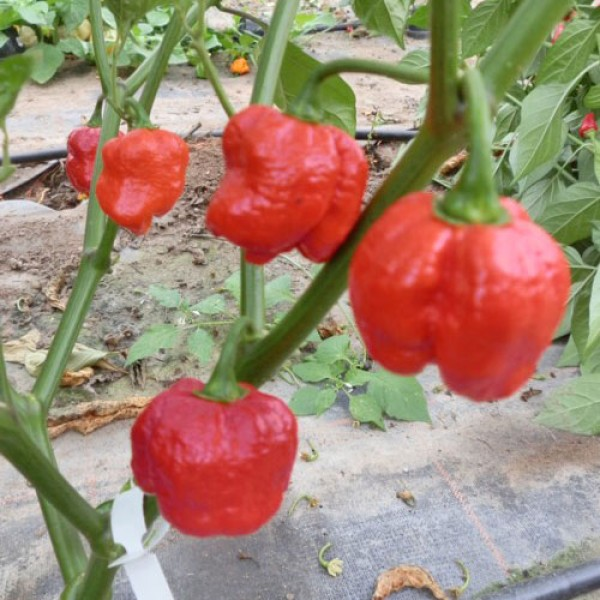Infinity Chili Seeds