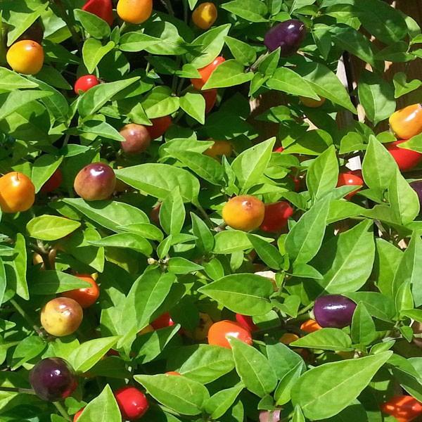 NuMex Centennial Chili Seeds