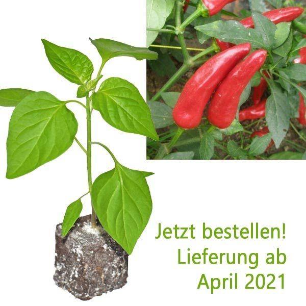 Organic Facing Heaven Red Chili Plant