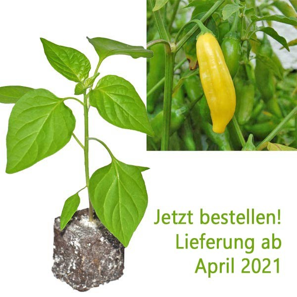 Organic Lemon Drop Chili Plant