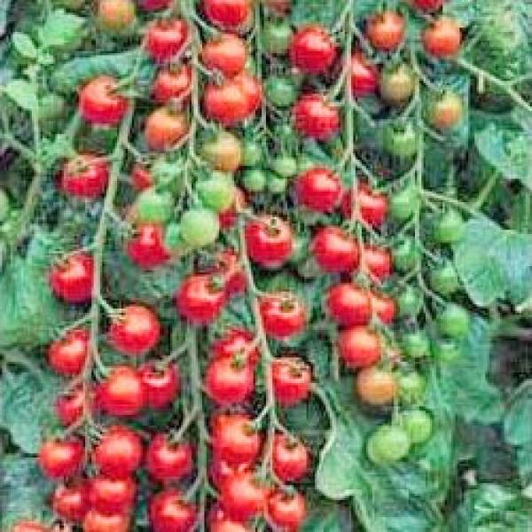 Cerise Tomato Seeds