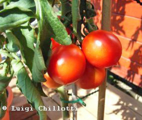 Principe Borghese Tomato Seeds