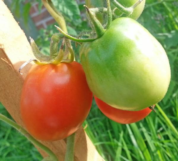 Ukrainian Purple Tomato Seeds