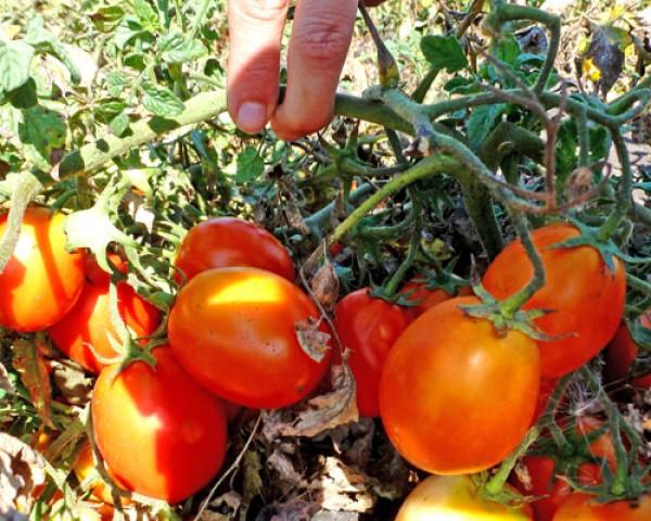 Kecskemeti Tomato Seeds