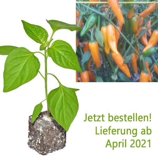 Organic Costeno Amarillo Chili Plant