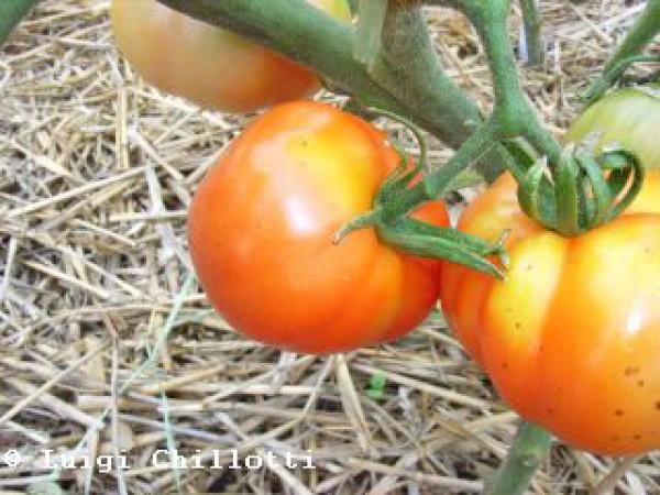 Marmande Superprecoce Tomato Seeds