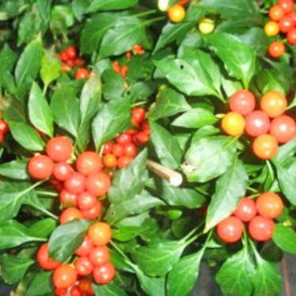 Bassotto Chili Seeds