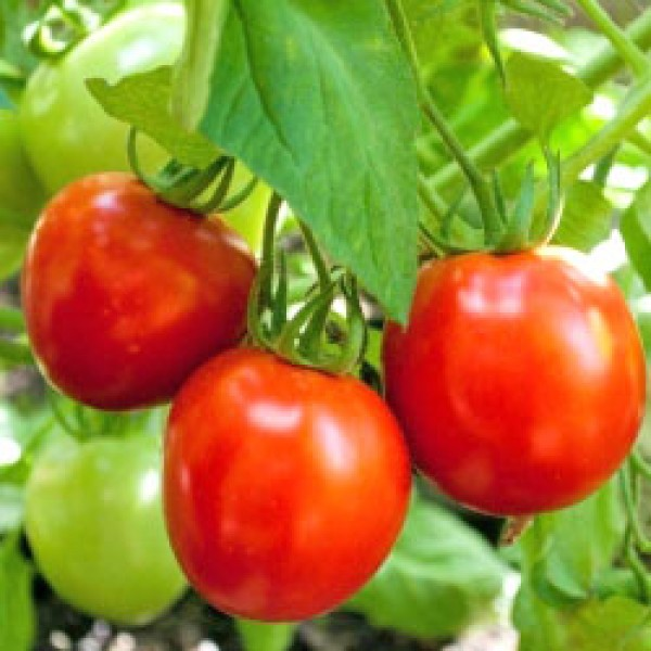 Glacier Tomato Seeds